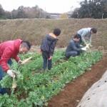 大根収穫祭1
